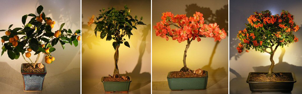 Flowering & Fruiting Bonsai Trees