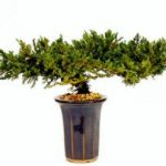 Juniper Bonsai Tree – 8 – Preserved Bonsai Tree (Preserved – Not a living tree)