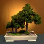 Preserved Juniper Bonsai Tree – Forest Group Style (Preserved – Not a living tree)