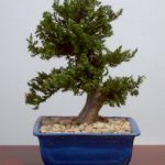 Preserved Juniper Bonsai Tree – Upright Style (Preserved – Not a living tree)