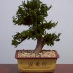 Preserved Juniper Bonsai Tree – Upright Style Potted in Chinese Bonsai Container (Preserved – Not a living tree)