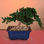 Preserved Juniper Bonsai Tree – Windswept Style (Preserved – Not a living tree)