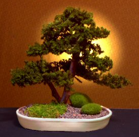 Preserved Juniper Bonsai Tree Upright Double Trunk Style Preserved Not A Living Tree Unique Bonsai Trees Bonsai Trees At Discounted Prices