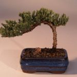 Juniper Bonsai Tree-Small (Juniper Procumbens nana)