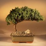 Juniper Bonsai Tree Complete Starter Kit