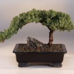 FREE SHIPPING ON THIS TREE Juniper Bonsai Tree – Large (Juniper Procumbens nana)