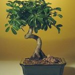 Hawaiian Umbrella Bonsai Tree – Medium Coiled Trunk Style (Arboricola Schefflera 'Luseanne')