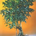 Hawaiian Umbrella Bonsai Tree – Medium (Arboricola Schefflera 'Luseanne')