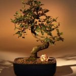 Chinese Elm Bonsai Tree – Medium Curved Trunk Style (Ulmus Parvifolia)