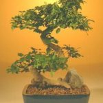 Flowering Ligustrum Bonsai Tree – Large Curved Trunk Style (ligustrum lucidum)