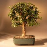 Baby Jade Bonsai Tree – Medium (Portulacaria Afra)