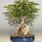 Hawaiian Umbrella Bonsai Tree – Large Roots Growing Over Rock (Arboricola Schefflera 'Luseanne')