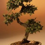 Chinese Elm Bonsai Tree – Large Curved Trunk Style (Ulmus Parvifolia)