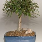 FREE SHIPPING ON THIS TREE Willow Leaf Ficus Bonsai Tree-Medium (Ficus Nerifolia/Salisafolia)