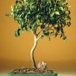 FREE SHIPPING ON THIS TREE Ficus Oriental – Large (Ficus Orientalis)