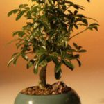 Hawaiian Umbrella Bonsai Tree – Small (arboricola schefflera 'luseanne')