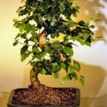 Flowering Ligustrum Bonsai Tree with Curved Trunk-Medium (ligustrum lucidum)