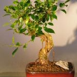 Ficus Retusa Bonsai Tree – Medium Curved Trunk Style