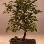 Trident Maple Bonsai Tree (Acer Buergerianum)
