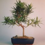 Flowering Podocarpus Bonsai Tree Styled – Medium (podocarpus macrophyllus)