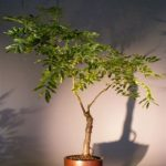 Flowering Japanese Wisteria Bonsai Tree (wisteria floribunda)
