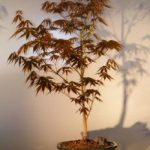 Japanese Red Maple Bonsai Tree – Large (Acer Palmatum Atropurpurea)