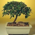 Flowering Brush Cherry Bonsai Tree – Small (eugenia myrtifolia)