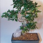 Chinese Elm Bonsai Tree – Extra Large Curved Trunk Style (Ulmus Parvifolia)