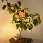 Flowering Camellia Sasanqua Bonsai Tree (Shishi Gashira)