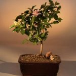 Flowering Lavender Star Flower Bonsai Tree – Medium (Grewia Occidentalis)