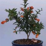 Flowering Dwarf Pomegranate – Small (Punica Granatum (nana))