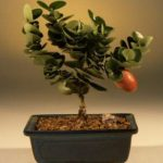 Flowering Dwarf Plum – Small (carissa macrocarpa)