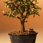 Baby Jade Bonsai Tree – Small (Portulacaria Afra)
