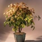 Flowering Heavenly Bamboo Bonsai Tree (nandina 'firepower')