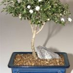 Snow Rose Serissa Bonsai Tree – Medium (serissa foetida)