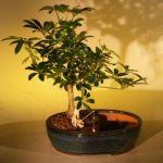 Hawaiian Umbrella Bonsai Tree Water/Land Container – Medium (arboricola schefflera 'luseanne')