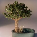 Baby Jade Bonsai Tree Water/Land Container – Medium (Portulacaria Afra)