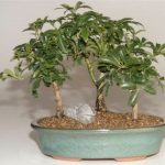 Hawaiian Umbrella Bonsai Tree 3 Tree Forest Group (Arboricola Schefflera 'Luseanne')