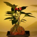 Flowering Red Anthurium In Hawaiian Lava Rock (small talk) Bonsai Tree (anthurium andraeanum)