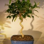 Ficus Benjamina Bonsai Tree Art Shaped Curved Trunk (exotica)