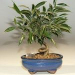Oriental Ficus Bonsai Tree – Small Coiled Trunk (ficus benjamina 'orientalis')