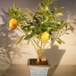 Kumquat Bonsai Tree – Variegated (fortunella japonica 'marumi')