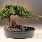 Juniper in a Water Bonsai Pot – Large (juniper procumbens nana)