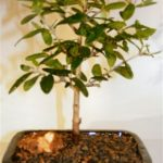 Olive Bonsai Tree (olea europaea little ollie)
