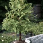 Redwood Bonsai Tree (metasequoia glyptostroboides)