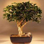 Hawaiian Umbrella Bonsai Tree – Large (arboricola schefflera 'luseanne)