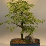 Flowering Brazilian Raintree Bonsai Tree Large (pithecellobium tortum)