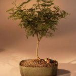 Flowering Sweet Acacia Bonsai Tree (acacia farnesiana)