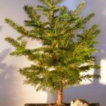 Colorado Blue Spruce Bonsai Tree Extra Large (picea pungens)