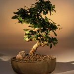 Flowering Fukien Tea Bonsai Tree – Medium Curved Trunk Style (ehretia microphylla)